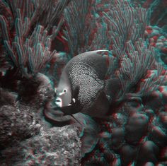 3D anaglyph - Angelfish I photographed in Curaçao