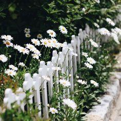 My inner landscape - delta-breezes: Hannah Queen Sunflowers And Daisies, Wild Flowers, White Picket Fence, Picket Fences, White Fence, Daisy Mae, Moon Garden, Dream Garden, Fence Gate