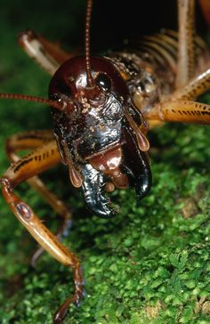 Wonderful weta. Giants of the insect world.