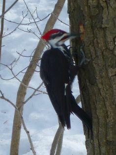 We have a Pileated Woodpecker that comes to our yard occasionally. Brighton, Ontario, Canada.