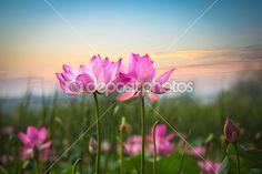 Flor de loto en puesta de sol — Foto de Stock #22296115