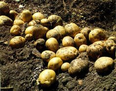 growing potatoes How to Grow Potatoes Growing Vegetables, Fruits And Vegetables, Veggies, Organic Gardening, Gardening Tips, Vegetable Gardening, Grow Potatoes In Container, Homestead Gardens, Tower Garden