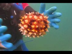 ▶ Pufferfish vs Porcupinefish Puffed Up - YouTube