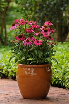 #container of Echinacea PowWow Wild Berry AAS Winner