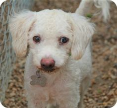 North Kingstown, CT - Bichon Frise/Poodle (Miniature) Mix. Meet Sinclair a Dog for Adoption.