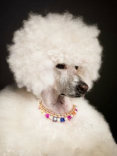 A fancy poodle with fancy baubles.