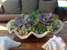 Succulents in a giant sea shell! It's tabletop decor that looks great all year long!  | Decor Ideas | Home Design Ideas | DIY | Interior Design | home decor | Coastal living