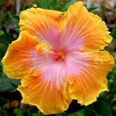 Hibiscus 'Easter Glow'....Amapola                                                                                                                                                                                 More