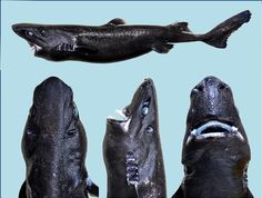 Ninja Lanternshark: the New Shark Species You Will Never See Coming