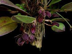Zootrophion atropurpureum | Flickr - Photo Sharing!