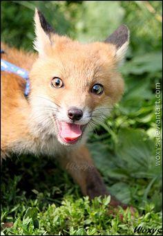 Terezka, baby female Red fox