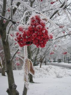 This photo from Western Finland, South is titled 'Frozen Red'. Winter Berries, New Nordic, Outdoor Photos, Winter Beauty, World Of Color, Winter Colors, Winter White, Four Seasons, Favorite Holiday