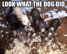 Piggies in trouble! Charming Mini Pigs
