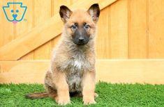 Nelly | German Shepherd Mix Puppy For Sale | Keystone Puppies