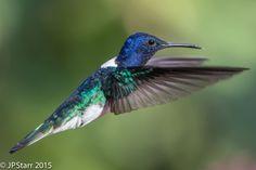 White necked Jacobin hummingbird - Trinidad