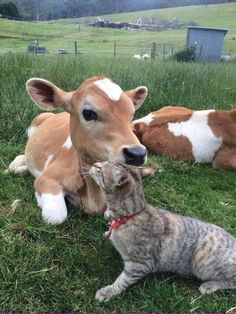 Precious photo of a cow cuddling a kitty Cute Baby Cow, Baby Cows, Cute Cows, Cute Baby Animals, Farm Animals, Animals And Pets, Baby Elephants, Wild Animals, Cute Creatures