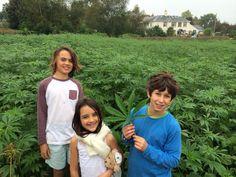 Orion, Inca, Jarien and 'nurse Nancy' harvest the hemp