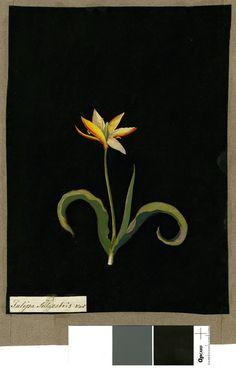 Tulipa Sylvestris, from an album (Vol.IX, 64). 1778 Collage of coloured papers, with bodycolour and watercolour, on black ink background