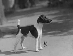 1933 Fox Terrier (Smooth) http://img.photobucket.com/albums/v485/Pietoro/Dog%20Breed%20Historical%20Pictures/Fox%20Terrier/1929_FoxTerrier_CHAMPIONKIPYARDTAFF.jpg