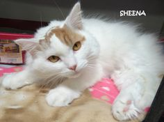 UPDATE-ADOPTED! AVAILABLE NOW! STRAY Tag# 3548 Name is Sheena  White/Orange  Female-unsure of spay 4 paw declaw  https://www.facebook.com/267166810020812/photos/a.707688035968685.1073742066.267166810020812/707688489301973/?type=3&theater