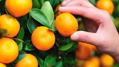 There are some pests and diseases which attack citrus trees that can be treated during winter. Learn some winter citrus care tips here. Citrus Trees, Fruit Trees, Organic Nutrients, Native Australians, Fertilizer For Plants, Insect Pest, Plant Health, Green Leaves, Orange