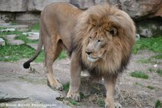 Lion at the Fort Worth Zoo Fort Worth Zoo, Zoo Animals, Dallas, Lion, Leo, Lions