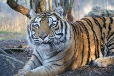 Emerson Tiger | Carolina Tiger Rescue