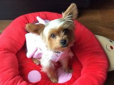 Morkie Bailey : at the age of 1 in her pink party dress.