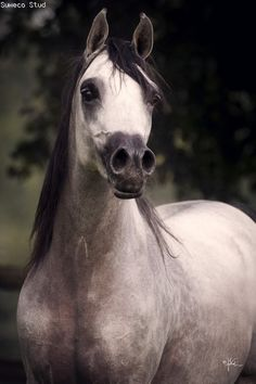 Beautiful horse! Grey and black. What a pretty face! Gzavi (AJA Justified x…