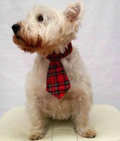 Cachorros usando gravata