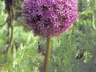backyard butterfly garden for Aynsley : ornamental onion allium 'globemaster'