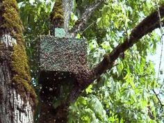 swarm trap in action final moments - YouTube σύληψη αφεσμού με αιθέριο έλαιο μελισσόχορτου