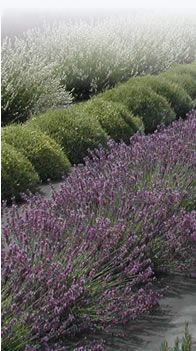 tips for lavender plants Lavender Strongly scented lavenders will protect nearby plants from insects such as whitefly, and lavender planted under and near fruit trees can deter codling moth. Lavender Plants, Growing Lavender, Planting Lavender, Lavander, Herb Garden, Lawn And Garden, Lavender Fields, Garden Inspiration, Garden Ideas