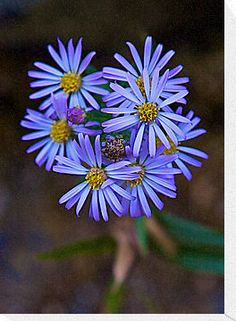 Deep Blue Leafy Aster (option for wedding flowers)