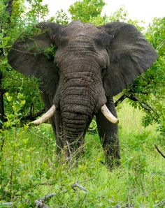 """Eléphant"".. Mpumalanga Rural, Mpumalanga, ZA // by  PhilippeL Photography via Flickr"