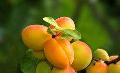 Eigene Aprikosen? Hier erfahren Sie wie es geht und was zu beachten ist.