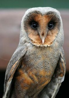 Owl's come in all shades of colour from Grey, White, Brown, yellow and Black.