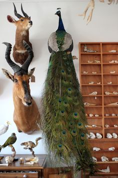 Taxidermy Indian Peacock. Mandibles, Cape Town.