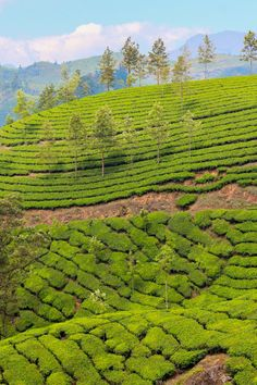Tea plantations in the southern Indian state of Kerala