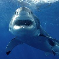 La capture de 170 requins fait des vagues en Australie