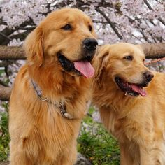 Fuzzy&Cherry * #ilovegolden_retrievers #pets_perfection #instagramjapan #nature_cuties #dogs_of_instagram #pupdoggydog #meowvswoof #bestwoof #dog_features #dogsofinstagram #Excellent_Puppies #puppytales #inutokyo #pecoいぬ部 #wooftoday #FurrendsUpClose #goldens_ofinstagram #igclub_dogs #gloriousgoldens #Instadog #goldenretriever #puppytrip #retrieversgram #welovegoldens #Excellent_Dogs #puppiesforall #inulog #GoldenRetriever_feature #bestfriends_dogs #west_dog_japan