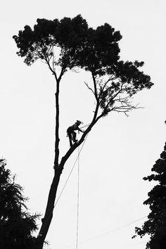 An arborist at work cutting down a huge ash tree in our neighbors backyard. Tree Rat, Tree Arborist, Tree Surgeons, Picture Tree, Pine Tree Tattoo, Tree Sketches, Tree Logos, Tree Company, Tree Silhouette