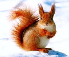 Beautiful Red Squirrel in the snow