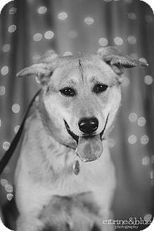 Portland, OR - Husky/German Shepherd Dog Mix. Meet Yeppen, a dog for adoption. http://www.adoptapet.com/pet/10568623-portland-oregon-husky-mix