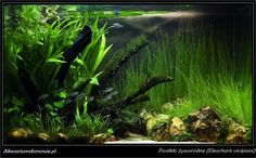 Ponikło żyworodne (Eleocharis vivipara) – Akwarium domowe