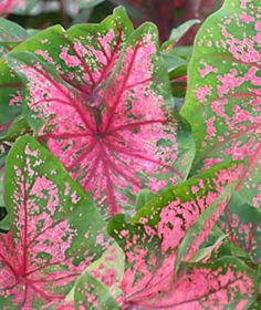 Caladium - Fancy Leaved - Fire Chief, shade or sun
