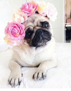 Read more about white pug puppies for sale. See our exciting images. Baby Animals, Funny Animals, Cute Animals, Cute Pug Puppies, Cute Dogs, Pug Wallpaper, Doug The Pug, Baby Pugs, Pug Pictures