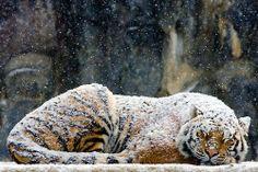 snow falling on sleeping tiger