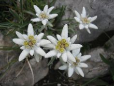 Edelweiss - small plant blooming in the Alpine mountains of Switzerland