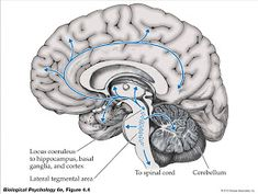 Noradrenergic Pathways: most important -- locus coeruleus of the dorsal pons. Human Brain Anatomy, Anatomy And Physiology, Neuron Structure, Types Of Neurons, Increase Serotonin, Skull Anatomy, Information Processing, Brain Activities, Boots